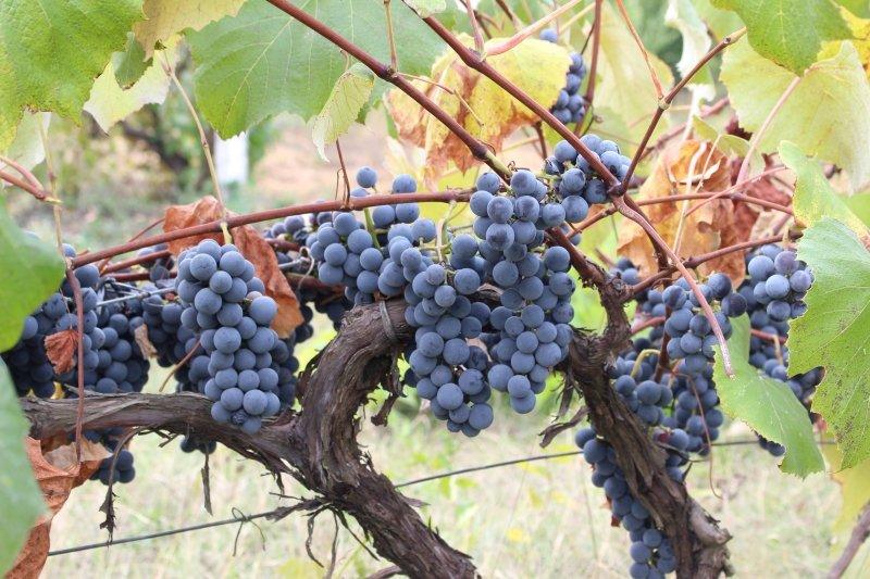 Vineyard Door County Winery